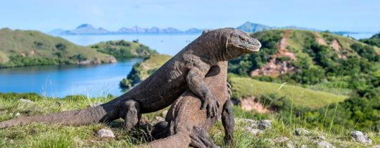Komodo Dragons in Komodo National Park - Oost Nusa Tenggara, Indonesië