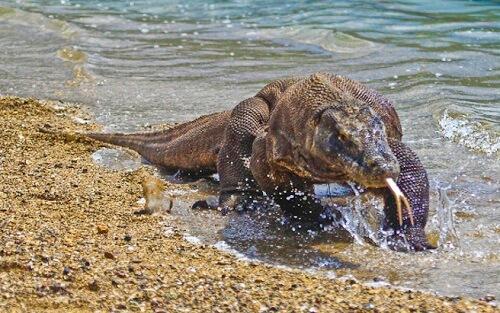 Komodovaraan in Komodo National Park