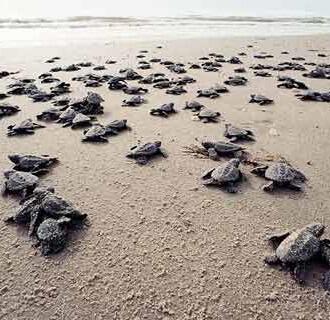 Jonge schildpadjes op weg naar de zee - Serangan Turtle Conservation and Education Center
